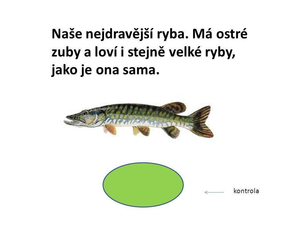 Naše nejdravější ryba. Má ostré zuby a loví i stejně velké ryby, jako je ona sama. ŠTIKA kontrola