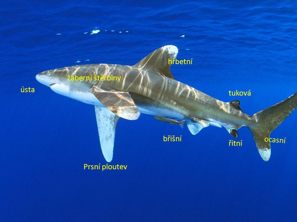 chrupavčitá kostra torpédovitý tvar těla umožňující rychlý pobyt ve vodě nesouměrná ocasní ploutev protažená hlava dýchají žábrami dravci ŽRALOCI