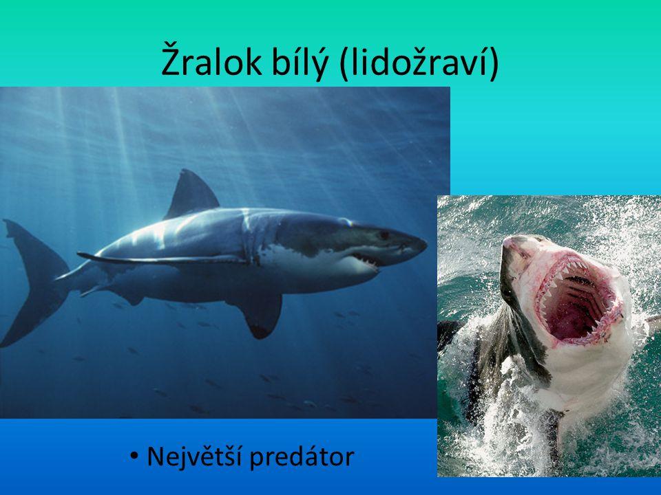 Žralok bílý (lidožraví) Největší predátor