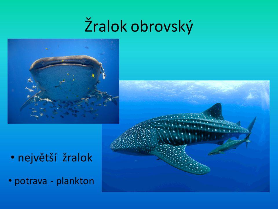 Žralok obrovský největší žralok potrava - plankton