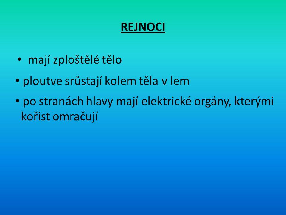 REJNOCI mají zploštělé tělo ploutve srůstají kolem těla v lem po stranách hlavy mají elektrické orgány, kterými kořist omračují