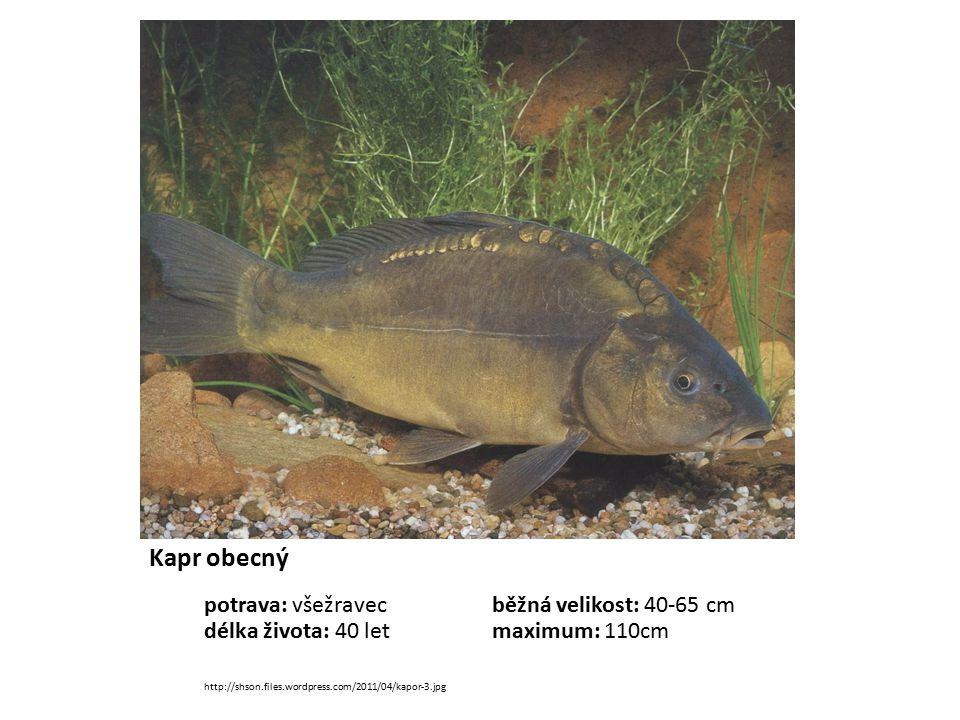 Kapr obecný potrava: všežravecběžná velikost: 40-65 cm délka života: 40 letmaximum: 110cm http://shson.files.wordpress.com/2011/04/kapor-3.jpg