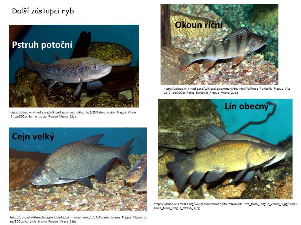 Další zástupci ryb Pstruh potoční http://upload.wikimedia.org/wikipedia/commons/thumb/d/dd/Tinca_tinca_Prague_Vltava_3.jpg/800px- Tinca_tinca_Prague_V