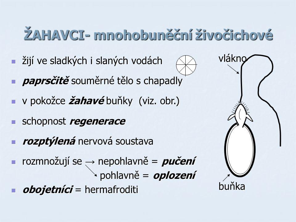 ŽAHAVCI- mnohobuněční živočichové žijí ve sladkých i slaných vodách žijí ve sladkých i slaných vodách paprsčitě souměrné tělo s chapadly paprsčitě sou
