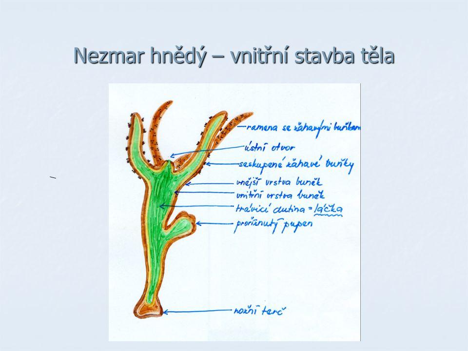 Druhy žahavců: sladkovodní druhy sladkovodní druhy nezmar zelený, nezmar hnědý, medúzka sladkovodní nezmar zelený, nezmar hnědý, medúzka sladkovodní mořské druhy mořské druhy MEDÚZY - volně se vznášejí ve vodě, dravé medúza kořenoústá, talířovka ušatá KORÁLI - žijí přisedle na dně moří - vytváří kolonie - vytváří kolonie - mají vápenatou schránku → korálové útesy - mají vápenatou schránku → korálové útesy korál červený SASANKY - přisedlé, netvoří kolonie - nemají schránku - nemají schránku sasanka koňská