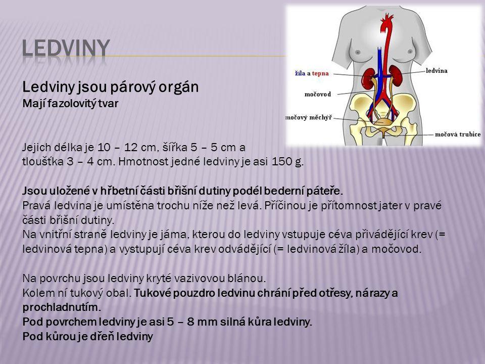 Ledviny jsou párový orgán Mají fazolovitý tvar Jejich délka je 10 – 12 cm, šířka 5 – 5 cm a tloušťka 3 – 4 cm.