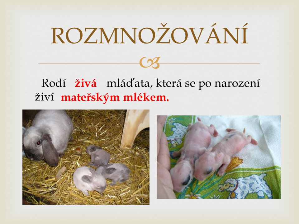  ROZMNOŽOVÁNÍ Rodí mláďata, která se po narození živí živá mateřským mlékem.