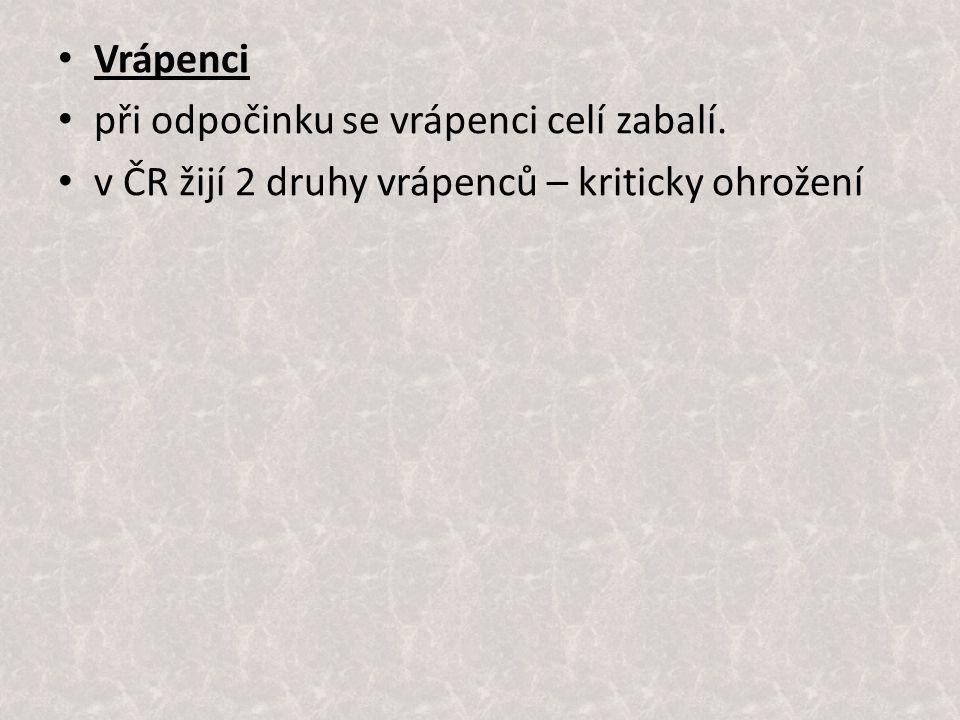 Vrápenci při odpočinku se vrápenci celí zabalí. v ČR žijí 2 druhy vrápenců – kriticky ohrožení