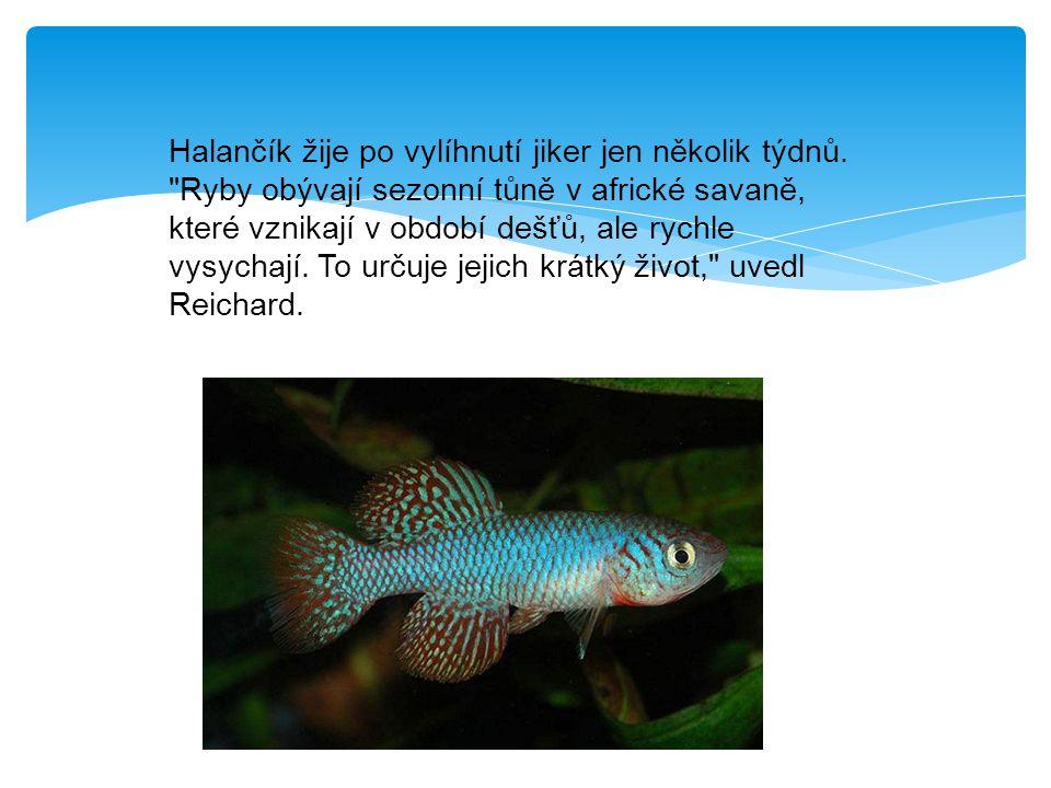 Drobná rybka měří kolem šesti až sedmi centimetrů a v období dešťů je v tůních hojná.