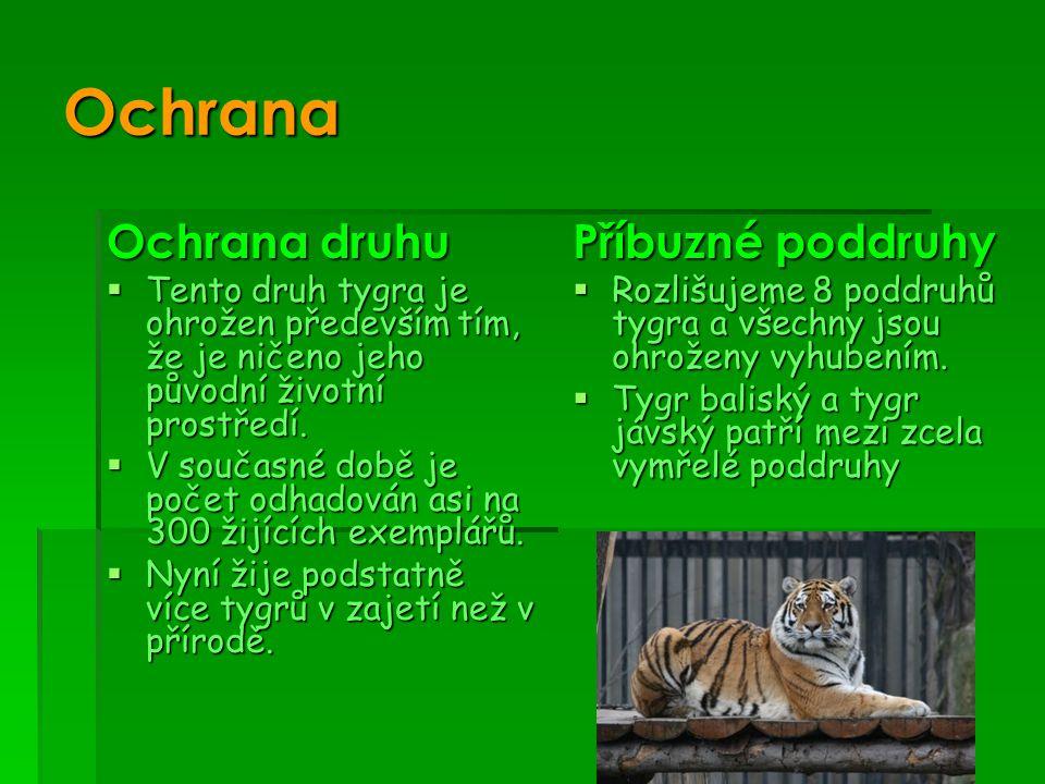 Ochrana Ochrana druhu  Tento druh tygra je ohrožen především tím, že je ničeno jeho původní životní prostředí.