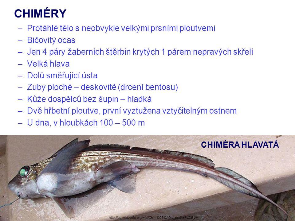 CHIMÉRY –Protáhlé tělo s neobvykle velkými prsními ploutvemi –Bičovitý ocas –Jen 4 páry žaberních štěrbin krytých 1 párem nepravých skřelí –Velká hlav