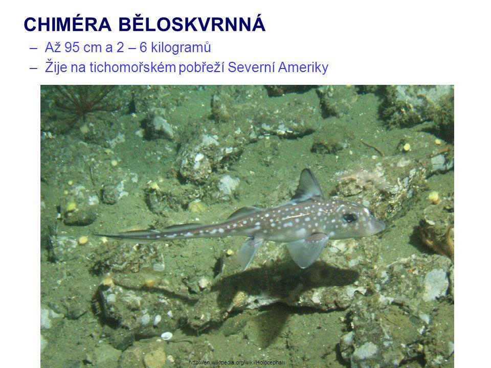 CHIMÉRA BĚLOSKVRNNÁ –Až 95 cm a 2 – 6 kilogramů –Žije na tichomořském pobřeží Severní Ameriky http://en.wikipedia.org/wiki/Holocephali
