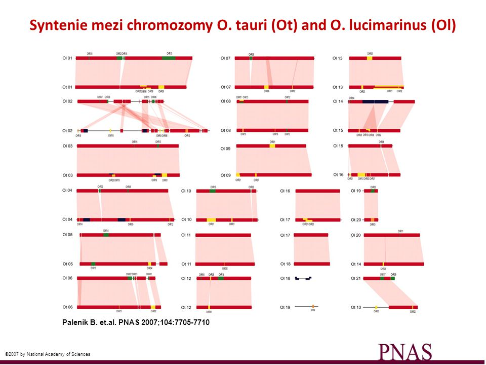 Syntenie mezi chromozomy O. tauri (Ot) and O. lucimarinus (Ol) Palenik B. et.al. PNAS 2007;104:7705-7710 ©2007 by National Academy of Sciences