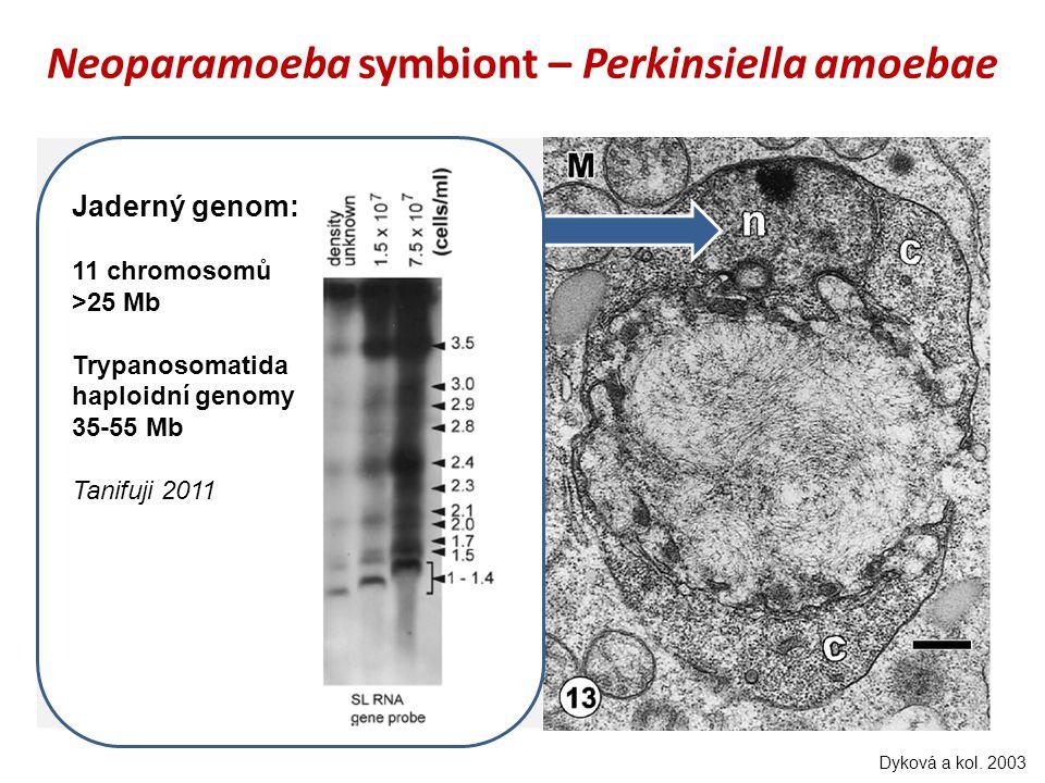 Neoparamoeba symbiont – Perkinsiella amoebae Dyková a kol. 2003 Tan Tani Jaderný genom: 11 chromosomů >25 Mb Trypanosomatida haploidní genomy 35-55 Mb
