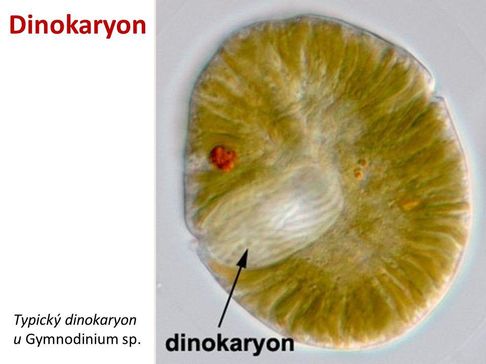 Dinokaryon Typický dinokaryon u Gymnodinium sp.