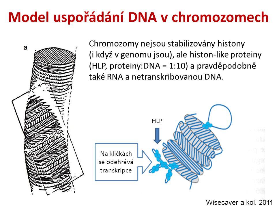 Model uspořádání DNA v chromozomech Chromozomy nejsou stabilizovány histony (i když v genomu jsou), ale histon-like proteiny (HLP, proteiny:DNA = 1:10