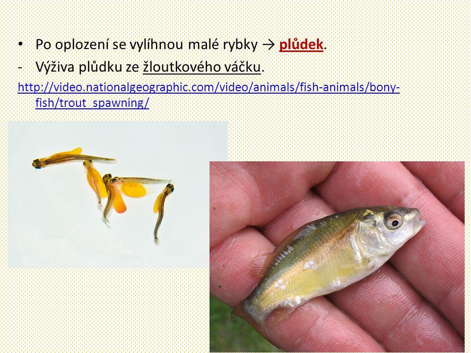 Po oplození se vylíhnou malé rybky → plůdek.-Výživa plůdku ze žloutkového váčku.