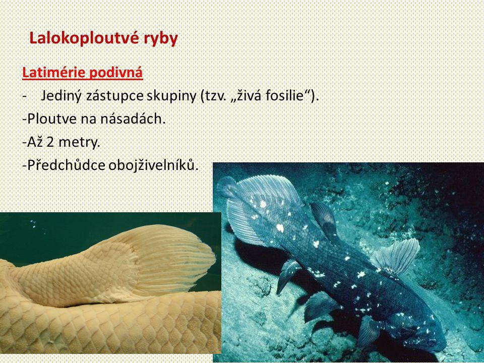 """Lalokoploutvé ryby Latimérie podivná - Jediný zástupce skupiny (tzv. """"živá fosilie""""). -Ploutve na násadách. -Až 2 metry. -Předchůdce obojživelníků."""