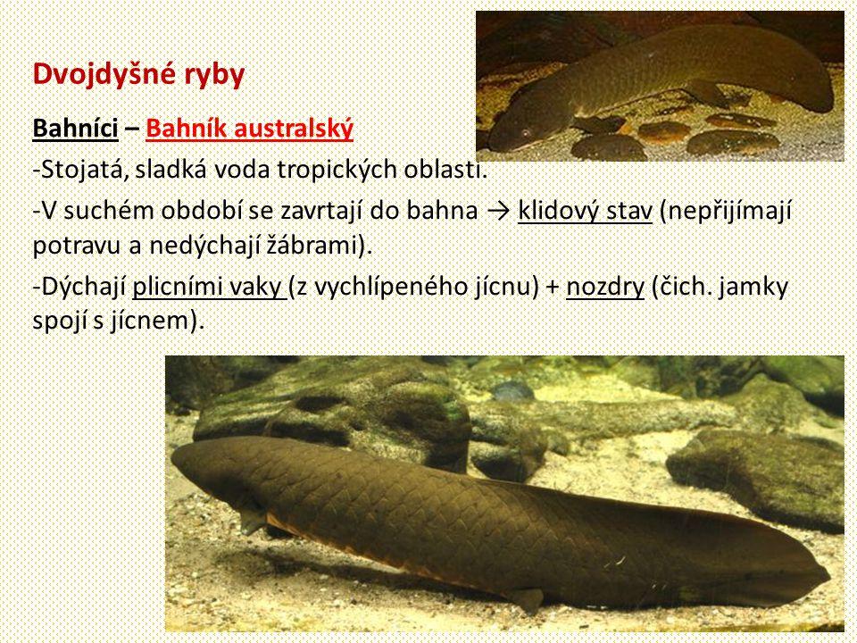 Dvojdyšné ryby Bahníci – Bahník australský -Stojatá, sladká voda tropických oblastí.