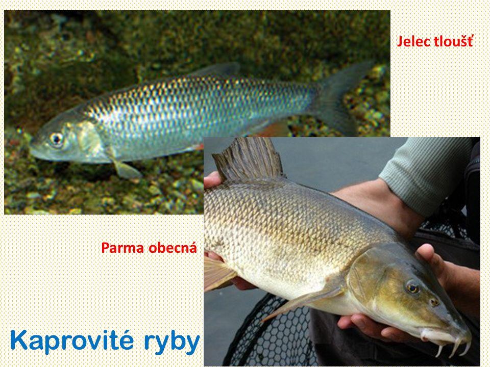 Jelec tloušť Parma obecná Kaprovité ryby