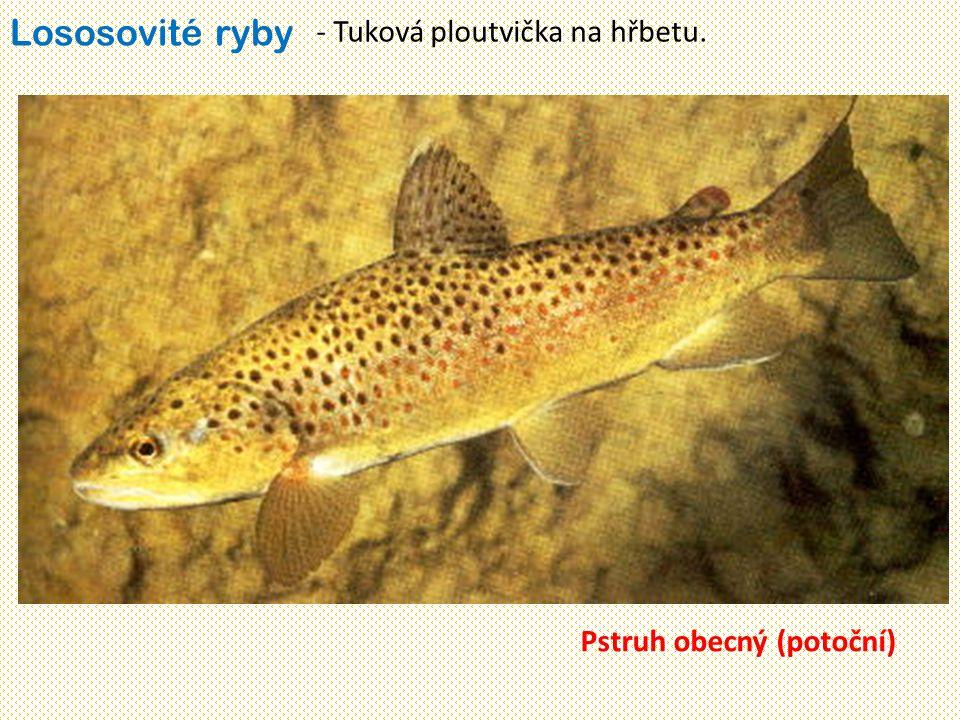Lososovité ryby - Tuková ploutvička na hřbetu. Pstruh obecný (potoční)