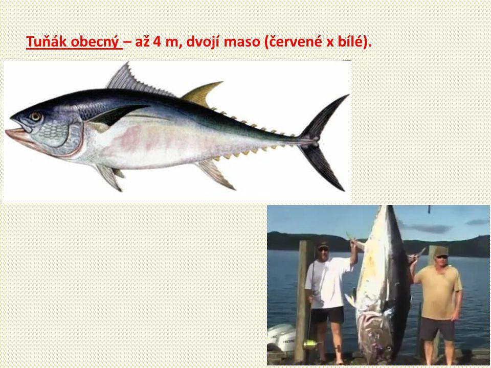 Tuňák obecný – až 4 m, dvojí maso (červené x bílé).