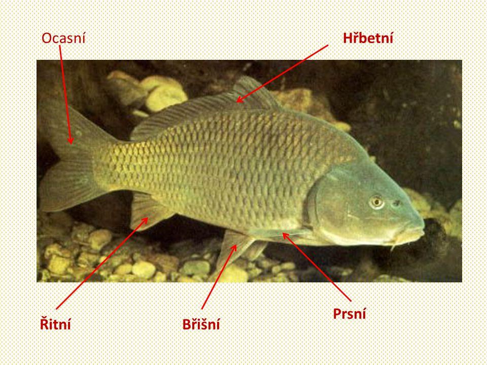 Mořské ryby Sleď obecný -Až 35 cm. -Zavináče, slanečky.