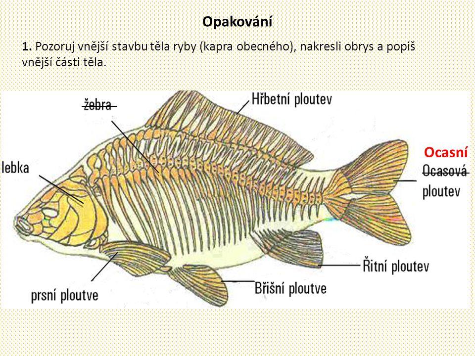 Opakování 1. Pozoruj vnější stavbu těla ryby (kapra obecného), nakresli obrys a popiš vnější části těla. Ocasní ________ ______
