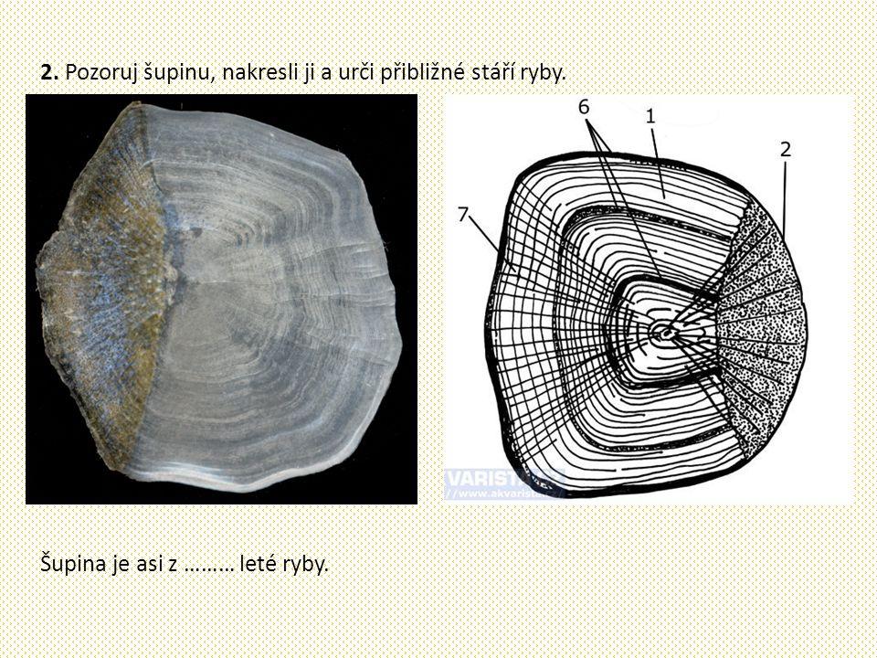 2. Pozoruj šupinu, nakresli ji a urči přibližné stáří ryby. Šupina je asi z ……… leté ryby.