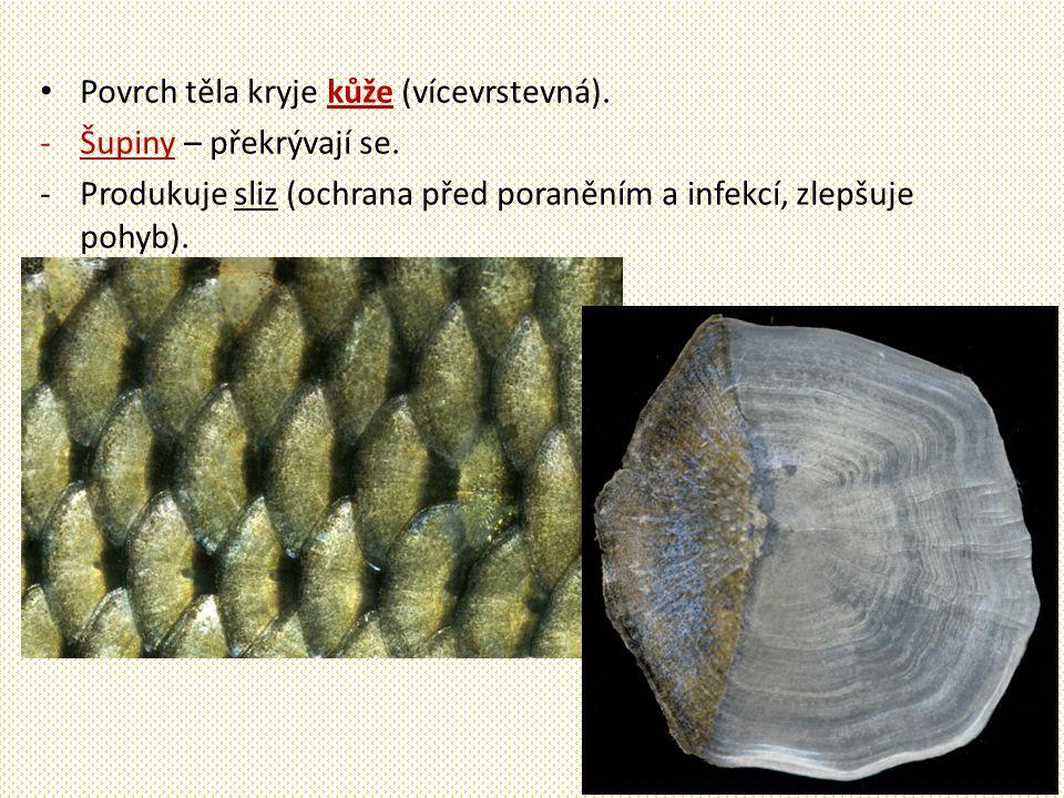 Ryby - vnitřní stavba Kostěná kostra – osu tvoří páteř z obratlů + lebka + žebra.