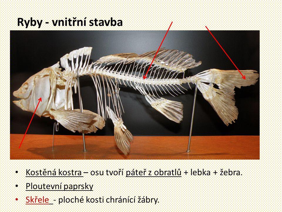 Ryby - vnitřní stavba Kostěná kostra – osu tvoří páteř z obratlů + lebka + žebra. Ploutevní paprsky Skřele - ploché kosti chránící žábry.