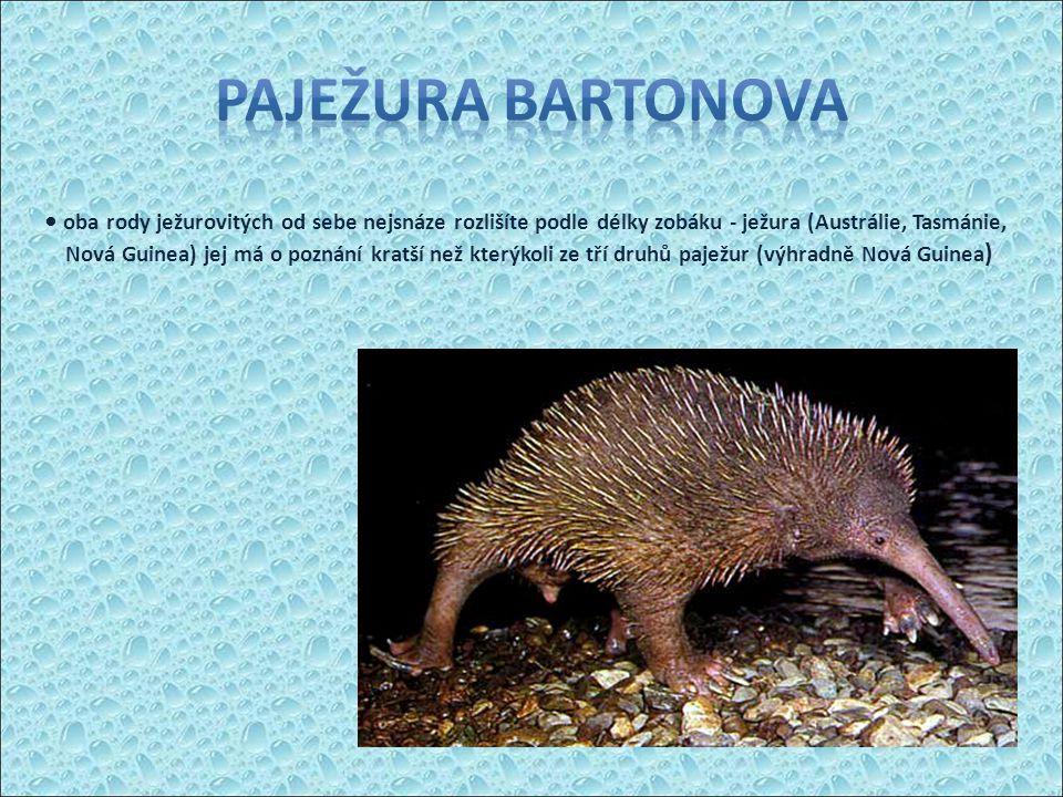 oba rody ježurovitých od sebe nejsnáze rozlišíte podle délky zobáku - ježura (Austrálie, Tasmánie, Nová Guinea) jej má o poznání kratší než kterýkoli