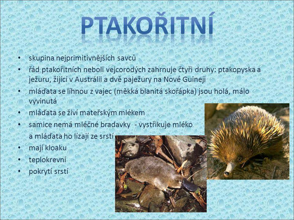 skupina nejprimitivnějších savců řád ptakořitních neboli vejcorodých zahrnuje čtyři druhy: ptakopyska a ježuru, žijící v Austrálii a dvě paježury na Nové Guineji mláďata se líhnou z vajec (měkká blanitá skořápka) jsou holá, málo vyvinutá mláďata se živí mateřským mlékem samice nemá mléčné bradavky - vystřikuje mléko a mláďata ho lízají ze srstí mají kloaku teplokrevní pokrytí srstí