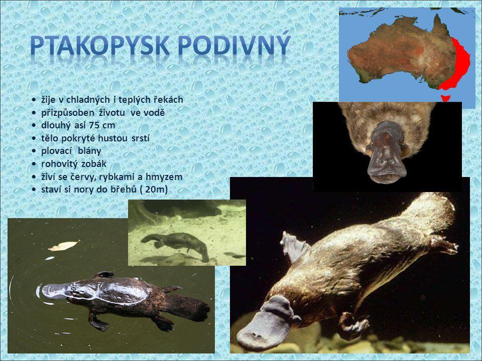 žije v chladných i teplých řekách přizpůsoben životu ve vodě dlouhý asi 75 cm tělo pokryté hustou srstí plovací blány rohovitý zobák živí se červy, rybkami a hmyzem staví si nory do břehů ( 20m)