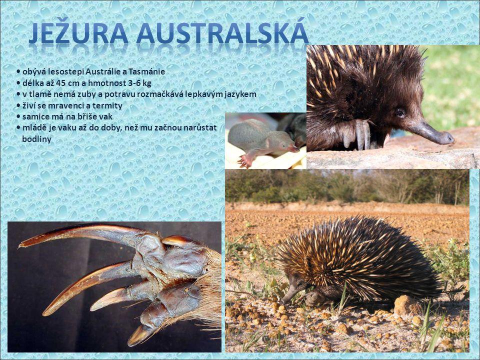 obývá lesostepi Austrálie a Tasmánie délka až 45 cm a hmotnost 3-6 kg v tlamě nemá zuby a potravu rozmačkává lepkavým jazykem živí se mravenci a termi