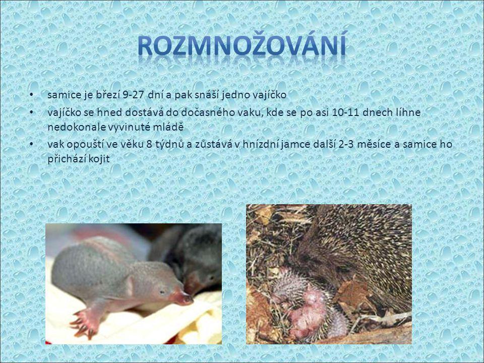 samice je březí 9-27 dní a pak snáší jedno vajíčko vajíčko se hned dostává do dočasného vaku, kde se po asi 10-11 dnech líhne nedokonale vyvinuté mládě vak opouští ve věku 8 týdnů a zůstává v hnízdní jamce další 2-3 měsíce a samice ho přichází kojit