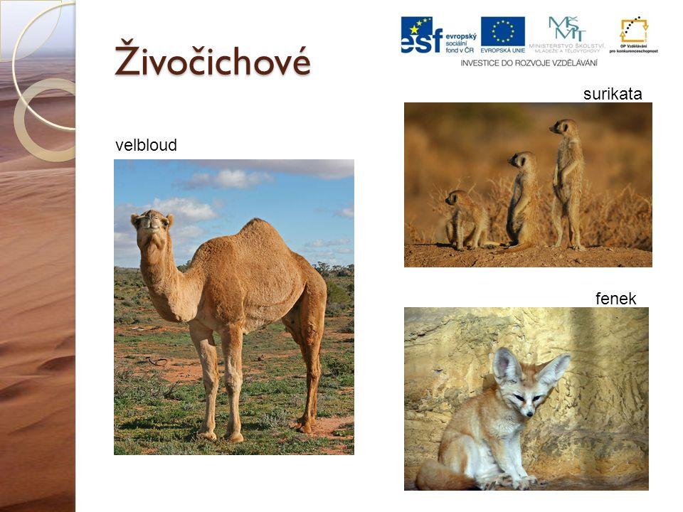 Živočichové velbloud fenek surikata