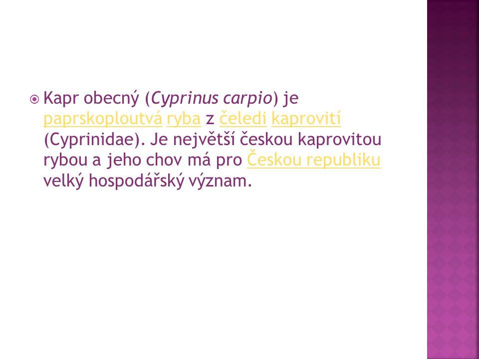  Kapr obecný (Cyprinus carpio) je paprskoploutvá ryba z čeledi kaprovití (Cyprinidae). Je největší českou kaprovitou rybou a jeho chov má pro Českou