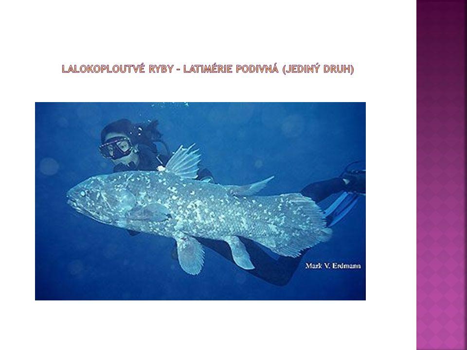  Latimérie podivná (Latimeria chalumnae) je ryba ze skupiny lalokoploutví, dlouhá v průměru 1 metr, se zavalitým tělem, ploutvemi na násadcích a modrými šupinami.
