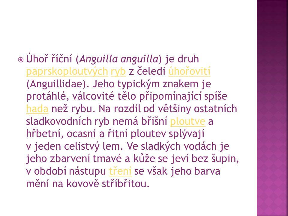  Úhoř říční (Anguilla anguilla) je druh paprskoploutvých ryb z čeledi úhořovití (Anguillidae). Jeho typickým znakem je protáhlé, válcovité tělo připo