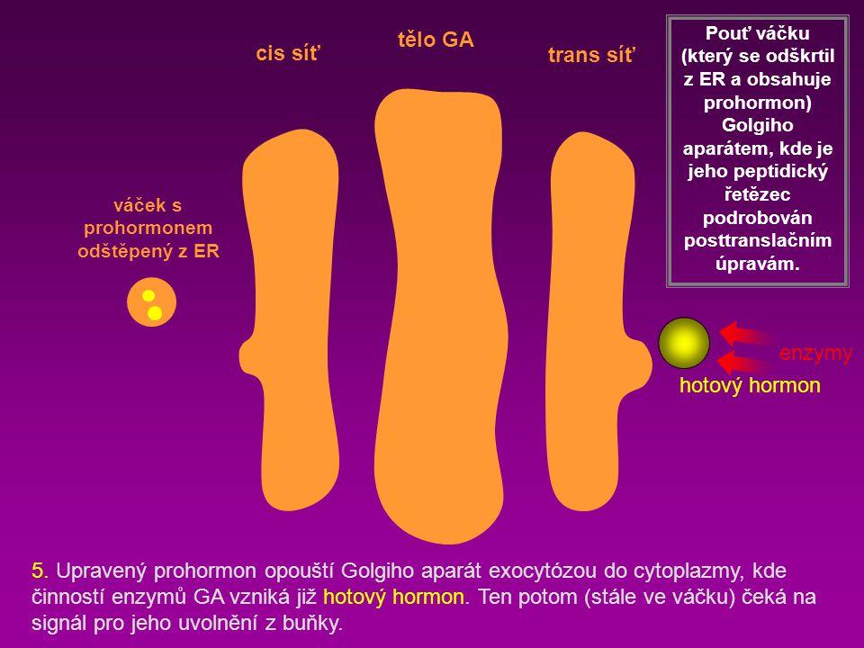 cis síť trans síť tělo GA Pouť váčku (který se odškrtil z ER a obsahuje prohormon) Golgiho aparátem, kde je jeho peptidický řetězec podrobován posttra