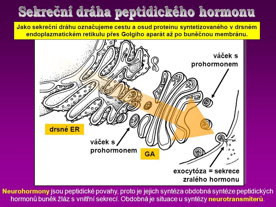 drsné ER GA váček s prohormonem exocytóza = sekrece zralého hormonu Neurohormony jsou peptidické povahy, proto je jejich syntéza obdobná syntéze pepti