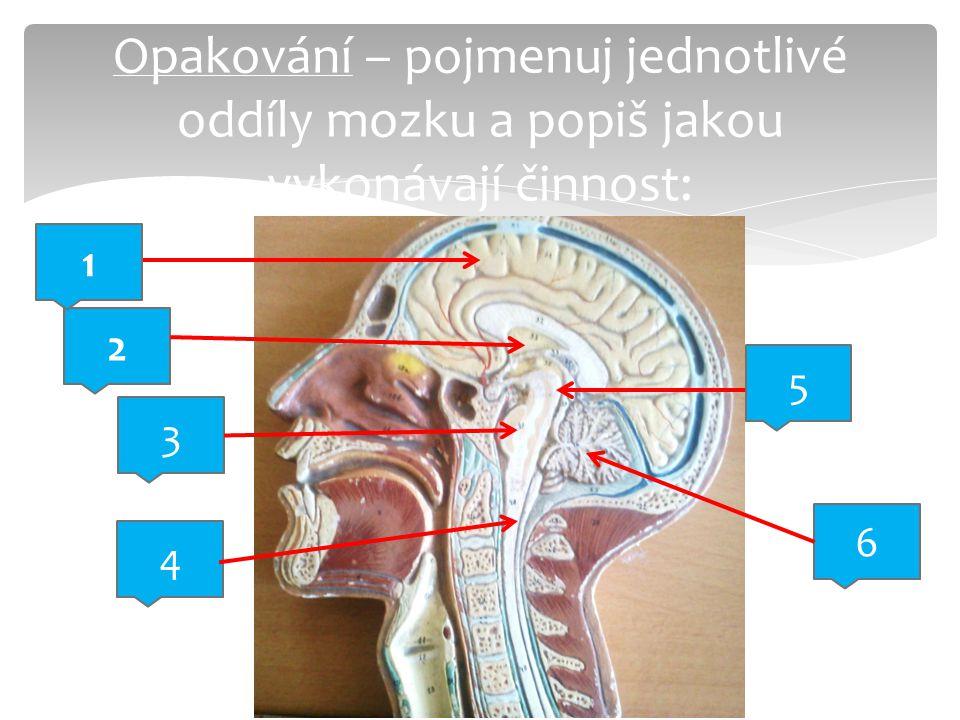 Opakování – pojmenuj jednotlivé oddíly mozku a popiš jakou vykonávají činnost: 2 3 5 4 6 1
