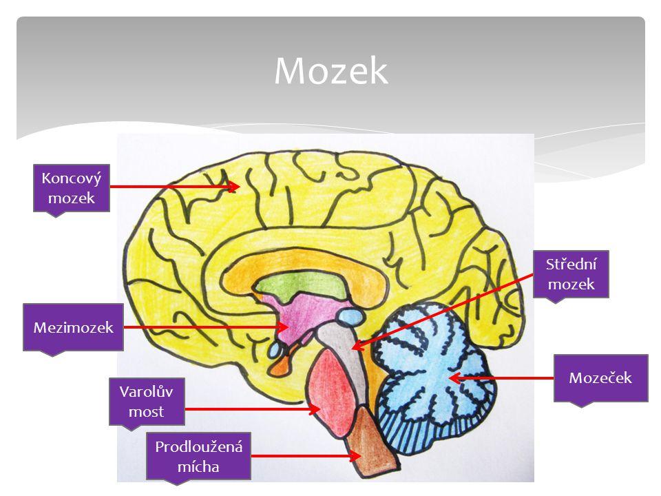 Koncový mozek Prodloužená mícha Mozeček Střední mozek Varolův most Mezimozek