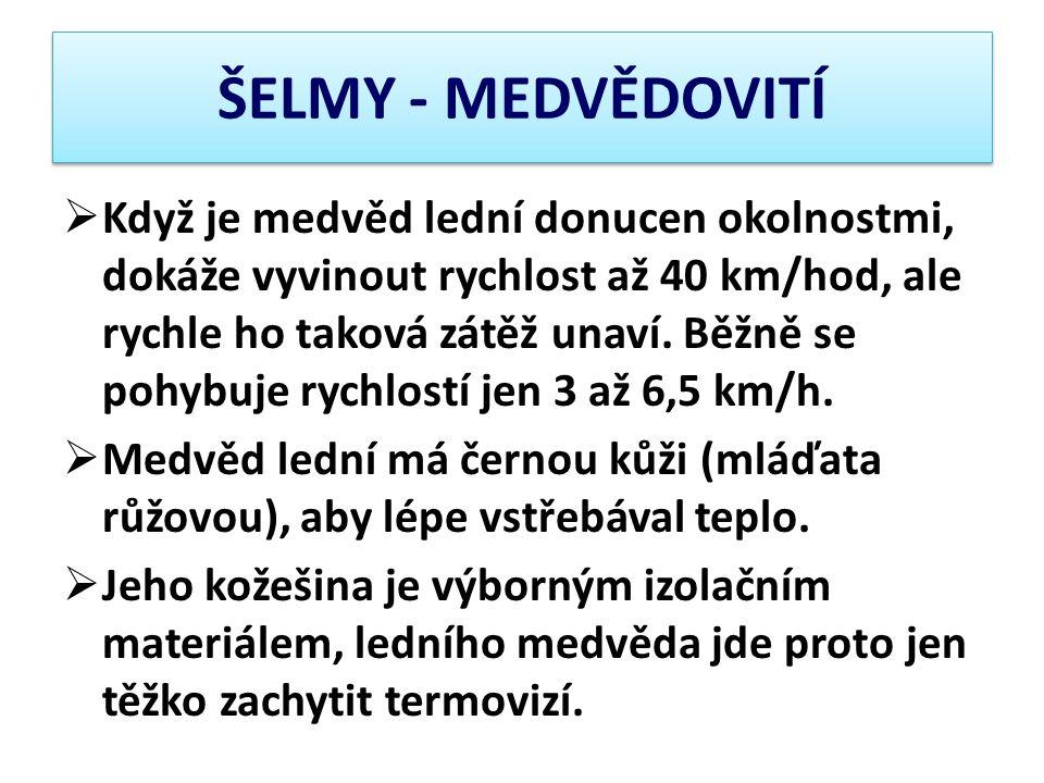 ŠELMY - MEDVĚDOVITÍ  Když je medvěd lední donucen okolnostmi, dokáže vyvinout rychlost až 40 km/hod, ale rychle ho taková zátěž unaví. Běžně se pohyb