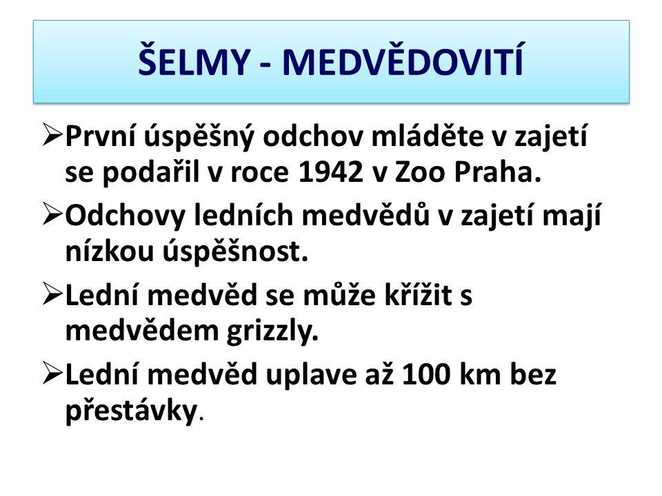 ŠELMY - MEDVĚDOVITÍ  První úspěšný odchov mláděte v zajetí se podařil v roce 1942 v Zoo Praha.  Odchovy ledních medvědů v zajetí mají nízkou úspěšno