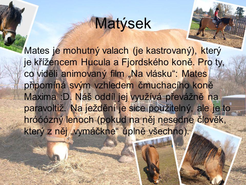"""Matýsek Mates je mohutný valach (je kastrovaný), který je křížencem Hucula a Fjordského koně. Pro ty, co viděli animovaný film """"Na vlásku"""": Mates přip"""
