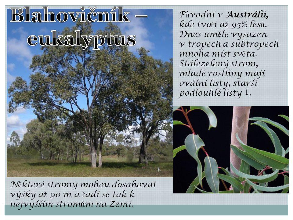 P ů vodní v Austrálii, kde tvo ř í a ž 95% les ů. Dnes um ě le vysazen v tropech a subtropech mnoha míst sv ě ta. Stálezelený strom, mladé rostliny ma
