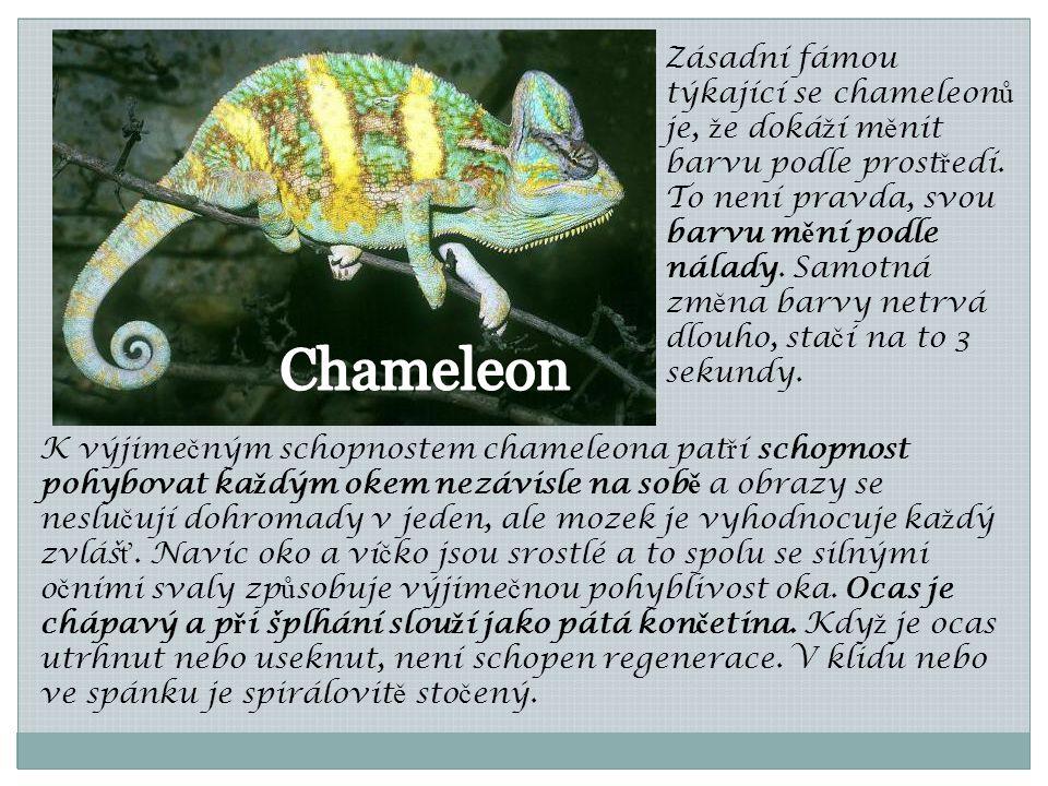 K výjime č ným schopnostem chameleona pat ř í schopnost pohybovat ka ž dým okem nezávisle na sob ě a obrazy se neslu č ují dohromady v jeden, ale moze