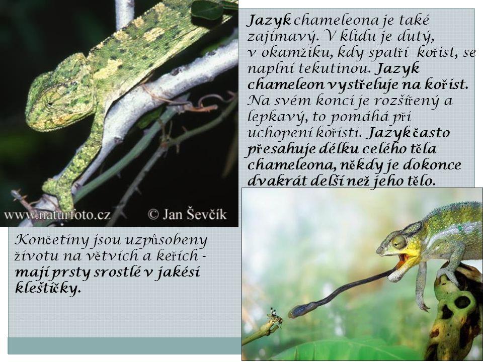 Jazyk chameleona je také zajímavý. V klidu je dutý, v okam ž iku, kdy spat ř í ko ř ist, se naplní tekutinou. Jazyk chameleon vyst ř eluje na ko ř ist
